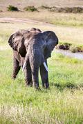 elephant walking in the savanna - stock photo