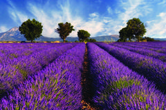 Lavender field in Provence, France Stock Photos