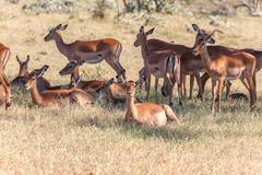 The group of antelopes on the grass - stock photo