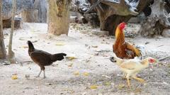 Bantam or Chicken on the garden Stock Footage