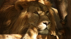 Sunshine spots on shaggy head of drowsy lion close up - stock footage