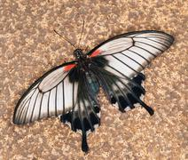 Swallowtail butterfly - Papilio anchisiades Stock Photos