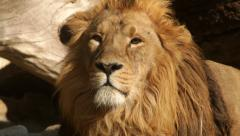 Sunny head close up of a drowsy lion, dozing on fallen tree background. Stock Footage