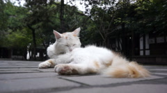 White cat lying on the ground in ancient temple Stock Footage