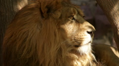 Shaggy head with sunlit muzzle in profile of lion close up - stock footage