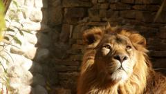 Long eye contact with adorable lion, winded on stone wall background Stock Footage