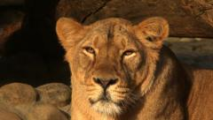 Spotted face of adorable lioness in sunset soft light, Stock Footage