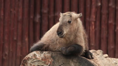 Takin kid, Budorcas taxicolor, on huge wood block on red log wall background Stock Footage