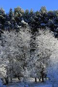 Trees covered with hoarfrost and snow in mountains Stock Photos