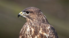 Buzzard Close Up Looking Left and Screeching. Stock Footage