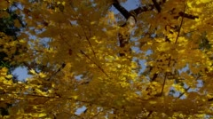View of yellow branches during autumn in Lithia park, Ashland Stock Footage
