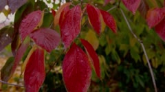 Close-up of red leaves in Lithia Park, Ashland Stock Footage