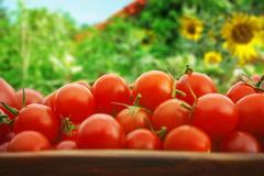 Urban gardening tomato yield Stock Photos