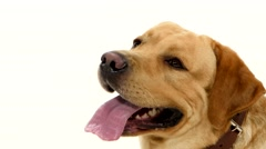 Adult labrador retriever with pink tongue isolated on white background Stock Footage