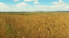 Dreamy Yellow Grass Field Summer Day Stock Footage