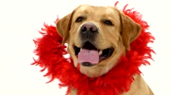Adult labrador retriever with red boa collar isolated on white background Stock Footage