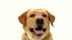 Adult labrador retriever sitting straight and looking at the camera isolated on Stock Footage