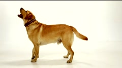 Golden labrador staying, going round and sitting on a white background Stock Footage