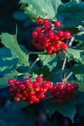 Berries of Viburnum opulus plant - stock photo