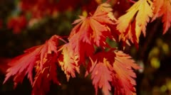 Close-up of red leaves in Japanese garden Stock Footage