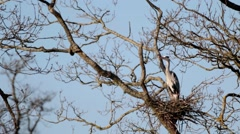 Grey Heron in Tree on Nest Stock Footage
