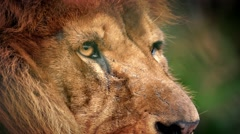 Stock Video Footage of Male Lion Face Looking Around