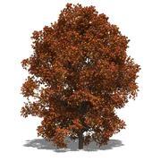 Acer saccharum (autumn) Stock Illustration