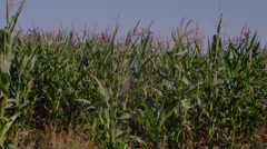 Close-up of tallgrass in meadow Stock Footage
