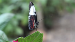 Butterfly stretching wings out on leaf Stock Footage
