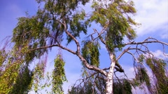Birch tree Stock Footage