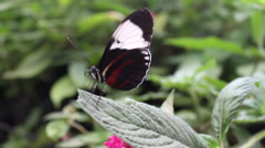 Closeup of butterfly on a leaf Stock Footage
