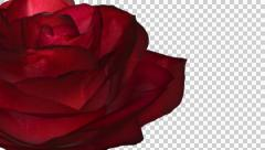 Rose Bloom - Red - Left Transition - Alpha Channel - 25 fps Stock Footage