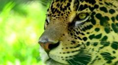 Jaguar Close Up Stock Footage