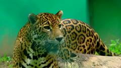 Jaguar in a Zoo 2 Stock Footage