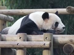 Panda resting on  wooden structure Stock Photos
