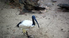 Stork in the jungle. HD. 1920x1080 Stock Footage