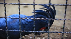 Blue Parrot in the cage. HD. 1920x1080. Close up macro Stock Footage