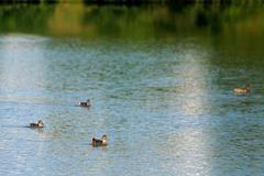 Four ducks in lake Stock Photos