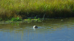 Duck swimming in pond, Grand Teton National Park Stock Footage