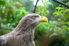 White tailed eagle in captivity Stock Photos