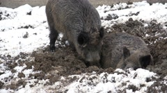 Wild boar fighting for a  place of sleep in winter time, ultra hd, 4k,real time Stock Footage