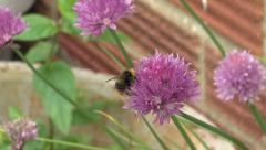 Chive Flower with Bee - stock footage