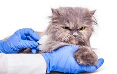 cat on admission to a veterinary clinic - stock photo