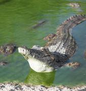 alligator lies in the water - stock photo