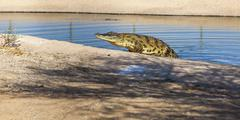 large American alligator - stock photo