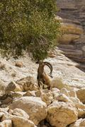 wild mountain goat - stock photo