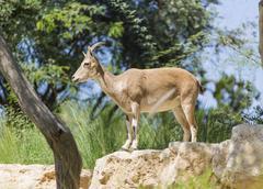Wild mountain goat standing Stock Photos