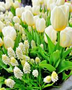 Muscari botryoides and tulips Stock Photos