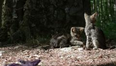 Kittens playing outdoor Stock Footage