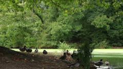 Prospect Park Ducks Stock Footage